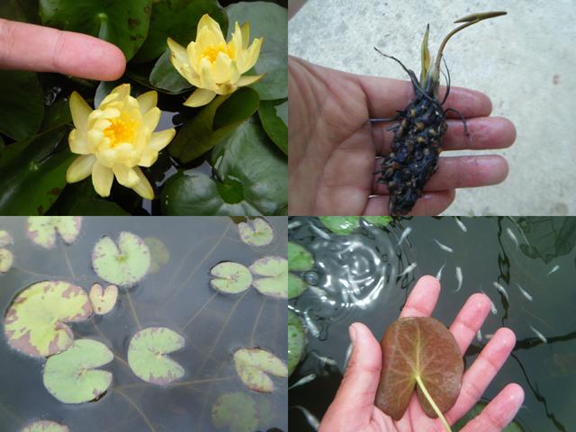 Nymphaea candida(カンディダ): 睡蓮図鑑(睡蓮愛)